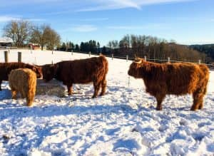 Hochlandrinder im Winter in Saiga Hans