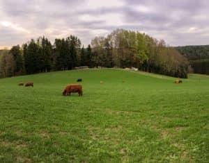 Stixjodl Hochlandrinder auf der Weide