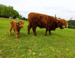 Stixjodl Schottische Hochlandrinder auf der Weide