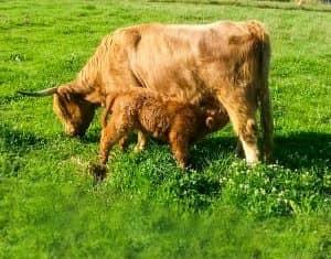 Biobetrieb mit Mutterkuhhaltung Kuh Milka