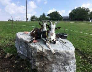 Unser Ziegenpaar