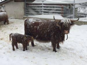 Schottisches Hochlandrind im Winter